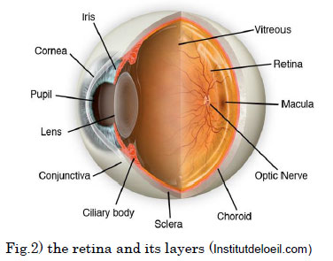 the retina and its layers (Institutdeloeil.com)